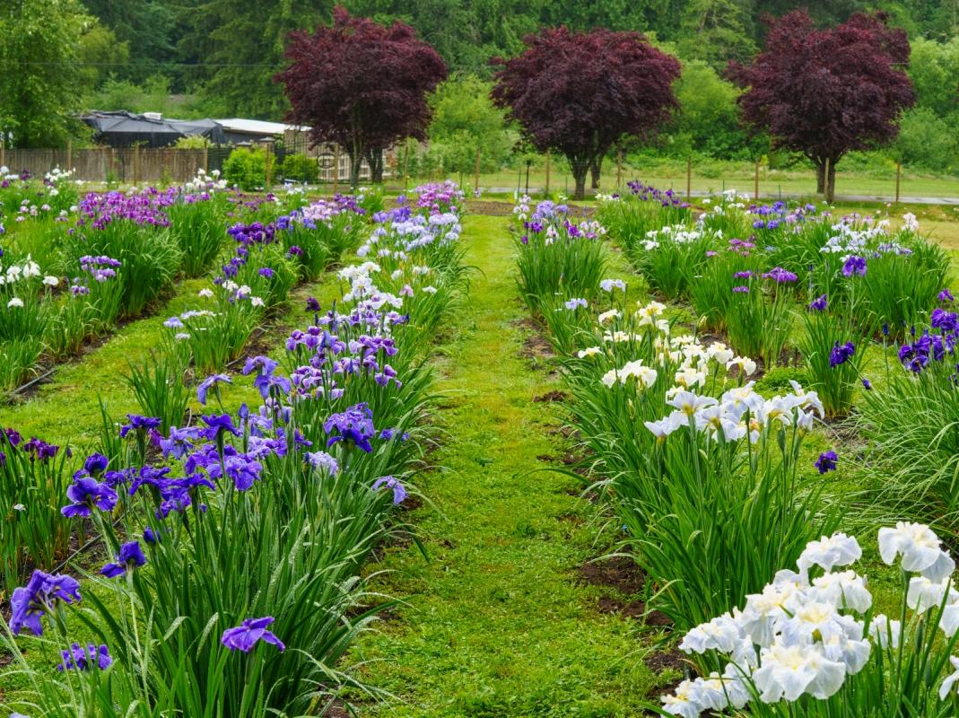 Cascadia-Iris-7