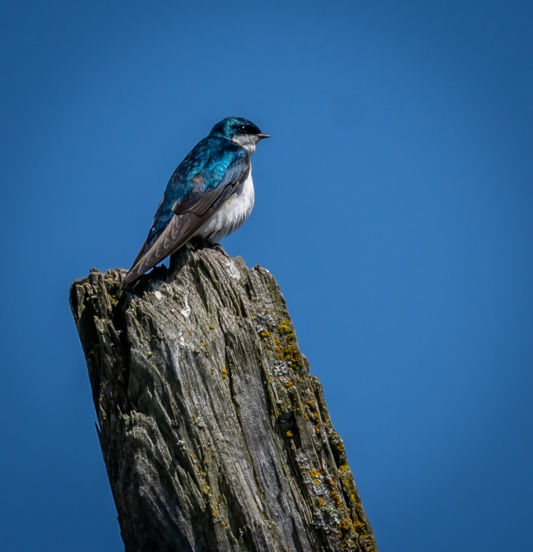 C01-Blue-Bird-on-Post-Andy-Royce