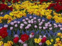 A01-Beautiful-Painted-Tulips-Renata-Kleinert-