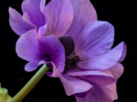 O-Blue-anemone-square-Chris-Currie