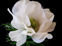 O-White-anemone-square-1-Chris-Currie