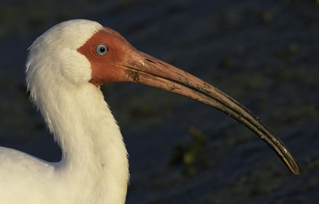 Adult-White-Ibis-Mary-Tevis