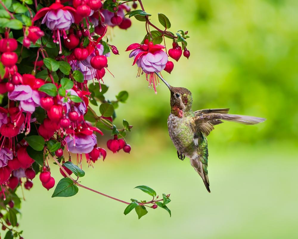 Annas-Hummingbird-Dennis-Ostgard