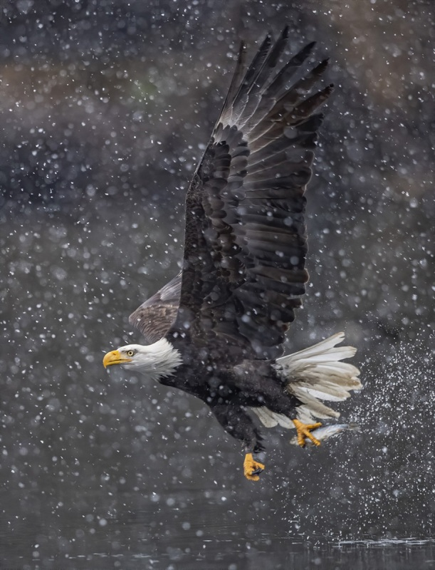 Eagle-in-Snow-Jeff-Lane