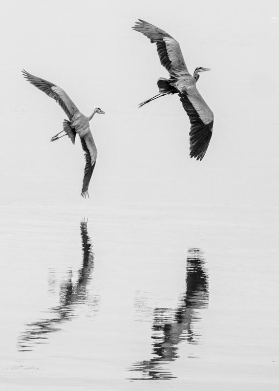 Herons-In-Tandem-Bill-Ray