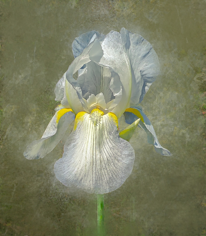 White iris on green stem