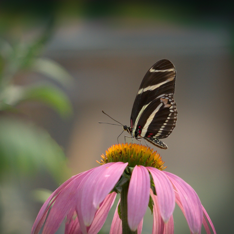 Zebra-Longwing-Butterfly-Margery-Robison