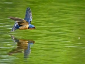 Barn-Swallow-Lunch-Time-Coming-in-Low-and-Fast-Morrie-Carter