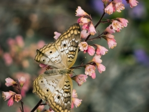 Buckeye-Butterfly-on-Blossoms-Margery-Robison
