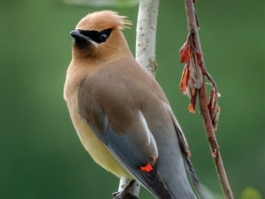Cedar-Waxwing-Bill-Ray