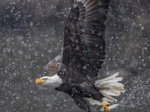Eagle-in-Snow-Jeff-Lane