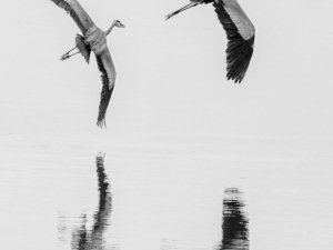 Herons-In-Tandem-Bill-Ray