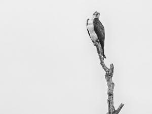 Osprey-Bobbing-Head-Dennis-Ostgard
