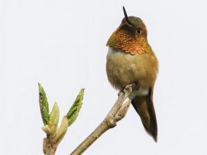 Rufous-Hummingbird-Jeff-Lane