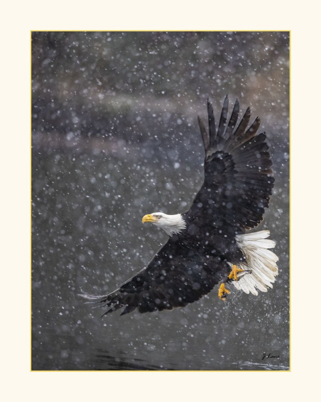 Jeff-Lane-Eagle-with-fish-in-snow-16x20-print